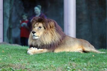 The Lion 7