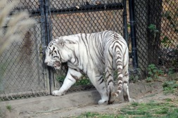 The White Tiger 3
