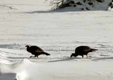 Wild Turkeys 4