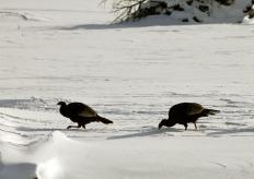 Wild Turkeys 4