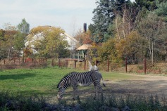 Zebras 1