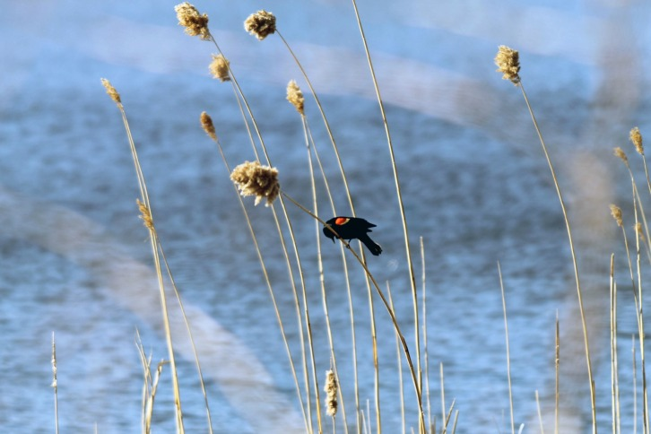 The Red Winged Blackbird