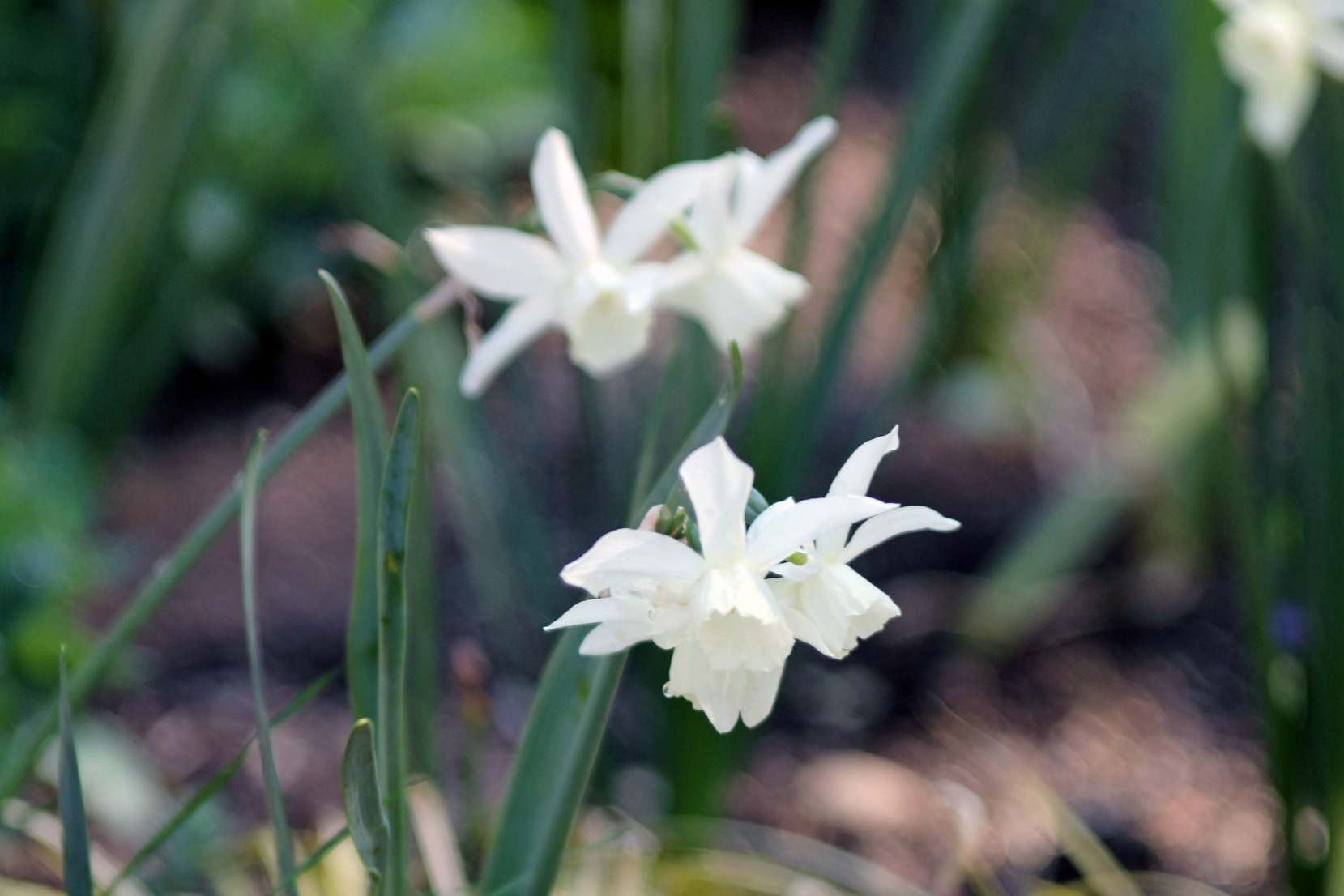 Jonquils in Bloom