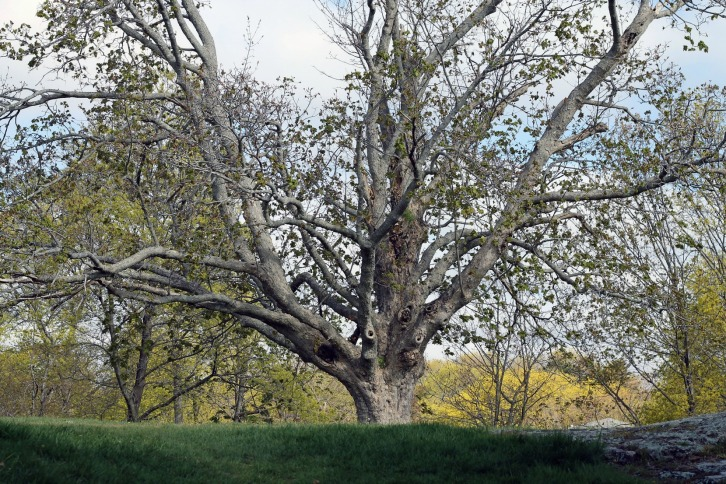 The Tree, Old Burial Hill, Marblehead, MA