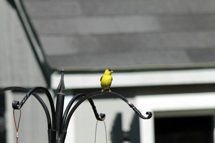 Return of the Goldfinch