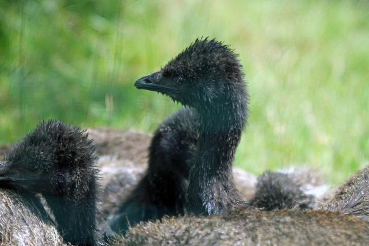 Baby Emus