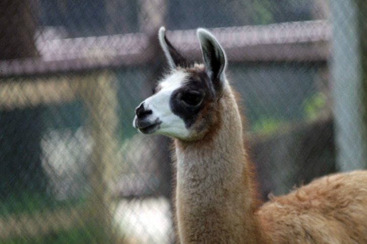 Curious Llama
