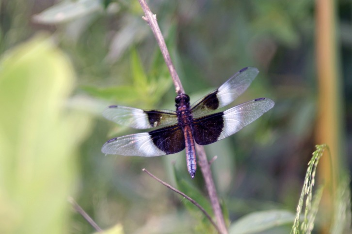 The Dragonfly, Great Meadows, Concord, Massachusetts
