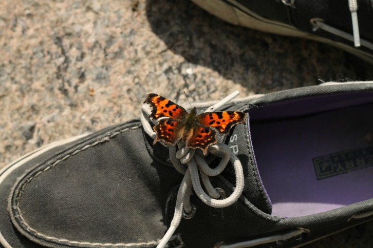 Eastern Comma on Topsider