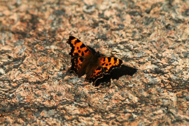 Eastern Comma, Otter Rocks, New Hampshire