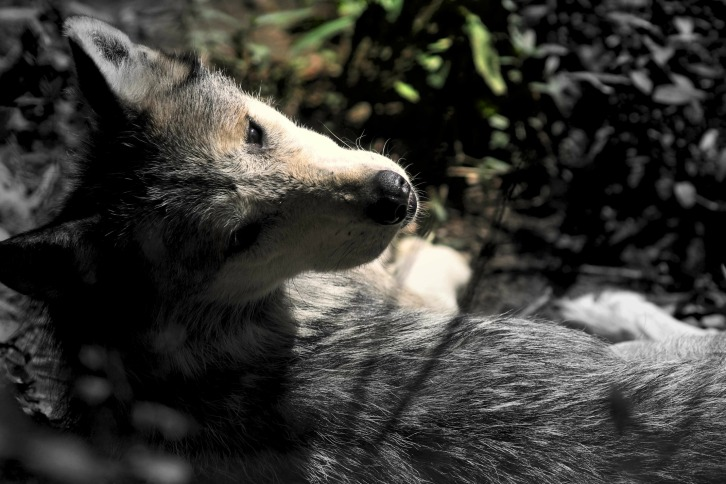 Mexican Grey Wolf (Low Color)
