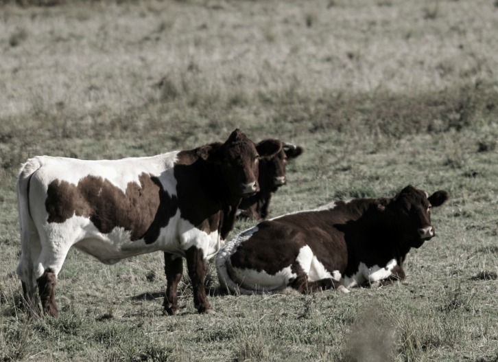 The Cows (Photometric Low Color)