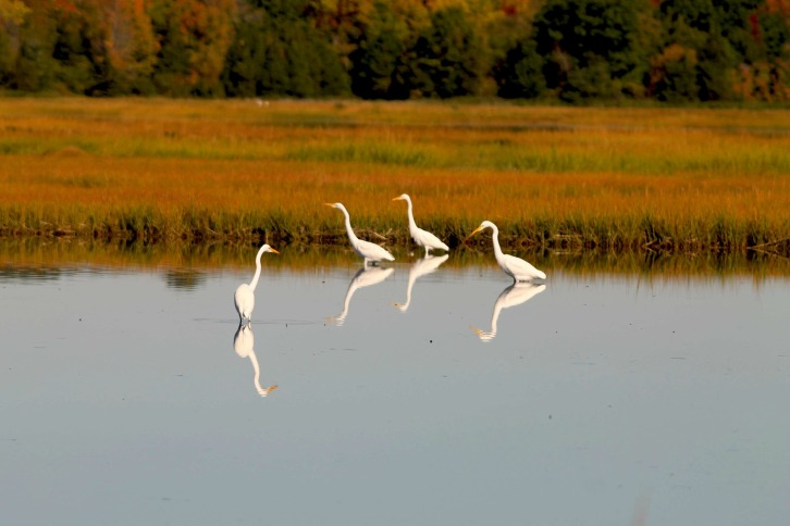 The Egrets at Rough Meadows, Ipswich, Massachusetts