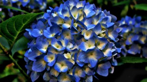 The Blue Hydrangea