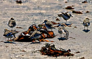 Gathering of Plovers, Wells, Maine