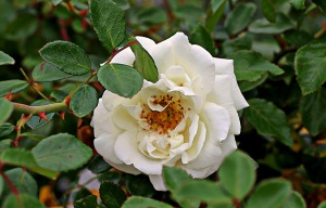 White Beach Rose