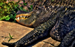 Watch Out for the Gator, Baby!