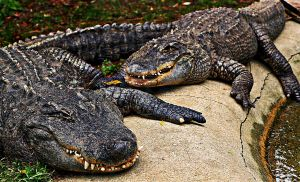 Basking Alligators