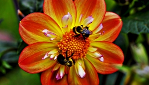 The Bees and the Dahlia
